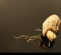 فواید مصرف بادام زمینی