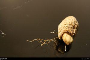 بادام زمینی پوست کنده
